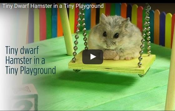 Tiny Hamster in a tiny Playground - Aprilsanimals